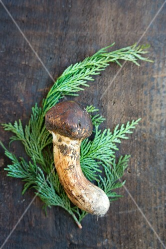A matsutake mushroom on a fern