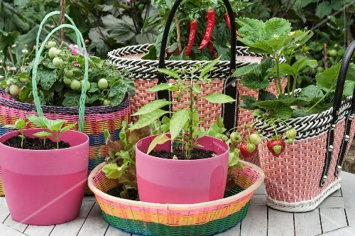 Basil seedlings in pink plastic pots, and tomato and strawberry plants in baskets made of woven plastic