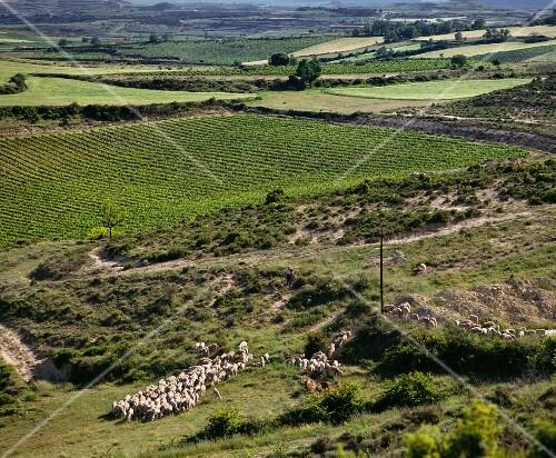 Shepherd and sheep by vineyard. Laguardia, Alava, Spain. [Rioja Alavesa]