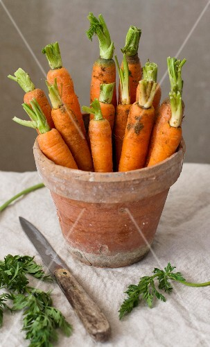 Fresh organic carrots in a flower pot