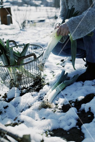 A woman harvesting leek in the winter