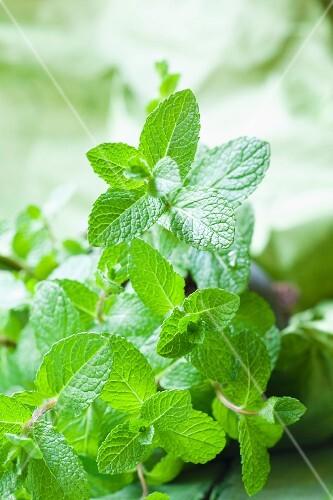 Fresh mint (close-up)