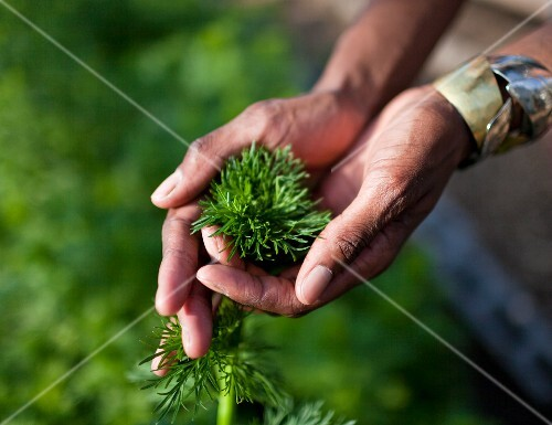 Hands holding freshly picked herbs