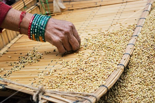 Coriander seeds being sorted (India)
