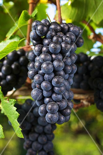 Ripe pinot noir grapes on a vine (Austria)