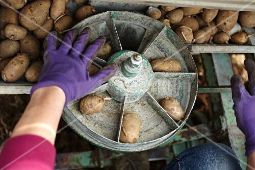 A farmer sowing organic potatoes