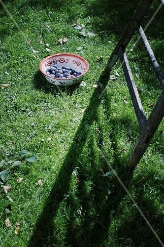 A bowl of freshly picked damsons in a field with a ladder