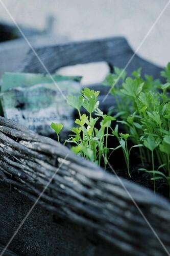 Small celery plants in a wicker tray