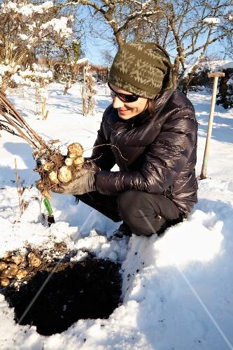 A man harvesting Jerusalem artichokes in winter
