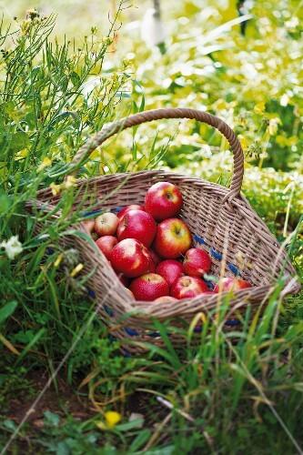 A basket of apples in a garden