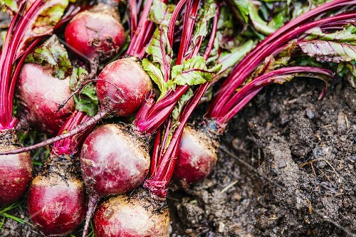 Beetroot on wet soil