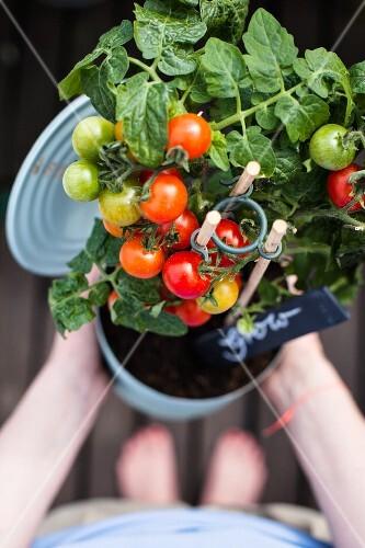Frau hält Tomatenpflanze in Konervendose in den Händen