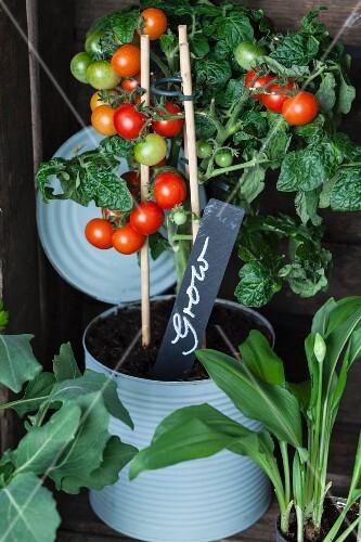 Tomatenpflanze in Konservendose mit beschriftetem Pflanzenstecker
