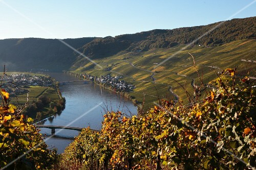 A wine landscape on the River Mosel with the town of Piesport