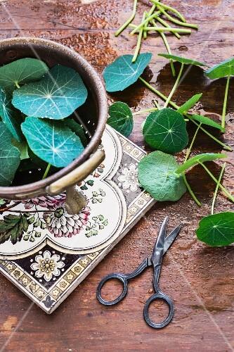 Fresh nasturtium leaves with a pair of scissors