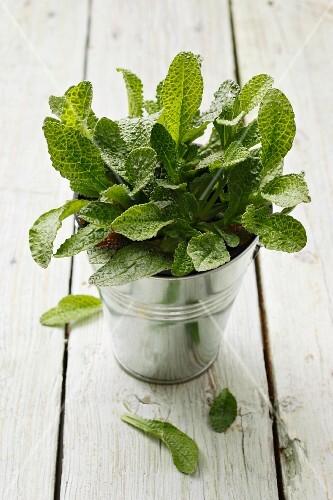 Borrage leaves in a metal bucket