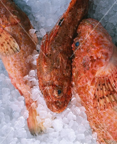 Fresh scorpion fish on ice
