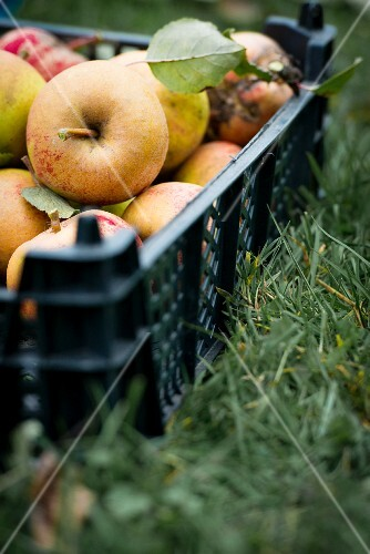 Picking apples in garden