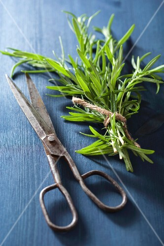 Fresh rosemary with a pair of scissors on a blue wooden surface