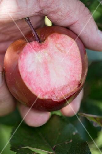 A bitten 'Weirouge' apple, South Tyrol