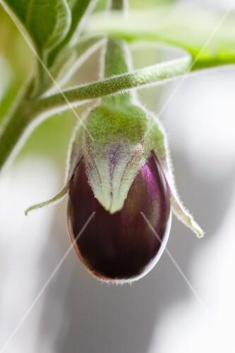 A young aubergine on a plant