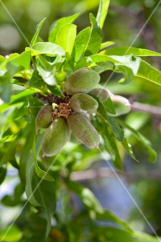 Almonds on a tree (close-up)