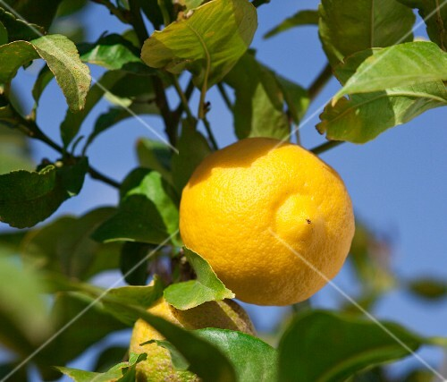 A lemon on a tree (close-up)