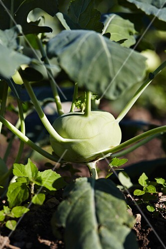 Kohlrabi in the field