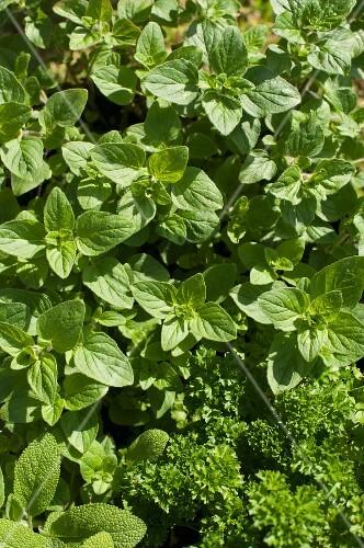 Fresh herbs in the sunshine