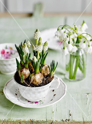 Drinking glass of snowdrops & white grape hyacinths planted in vintage teacup