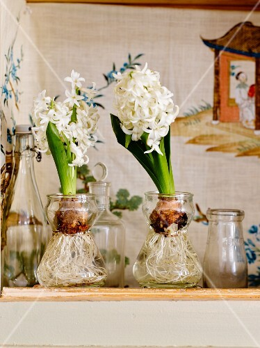 White hyacinths in the hyacinths vases