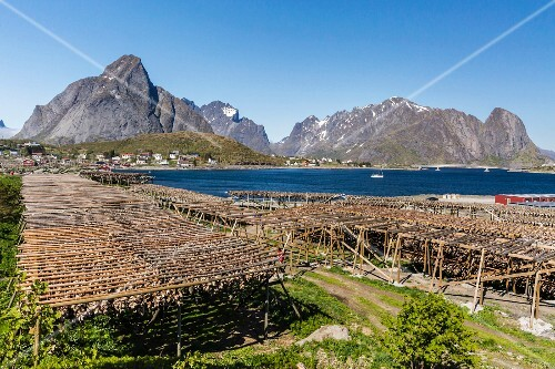 Cod dying on a large wooden frame against the magnificent mountain backdrop and bay of Lofoten, Norway