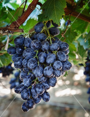 Grapes in San Joaquin Valley, California