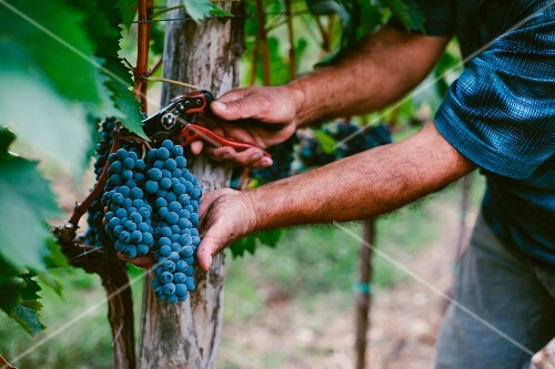A man harvesting red wine grapes from a vine