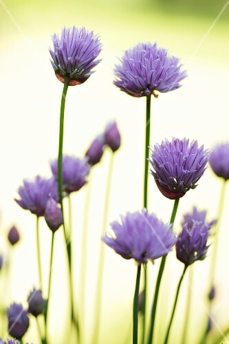 Chive flowers lit from behind