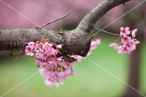 Cherry blossom on the tree