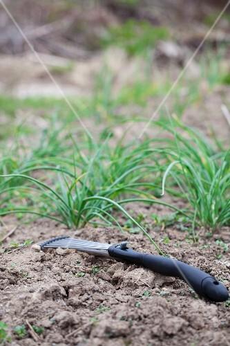 Spring onions in garden