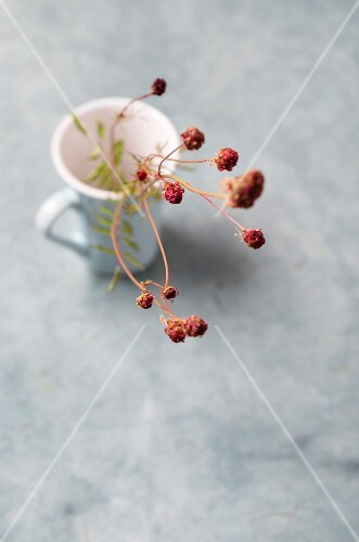 Small burnet (Sanguisorba Minor) in a tea cup