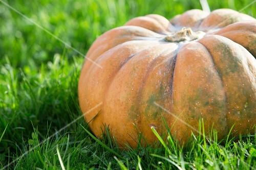 A giant pumpkin on grass