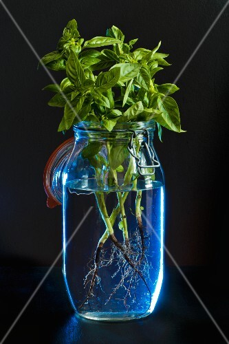 Sprigs of basil with roots in a preserving jar of water