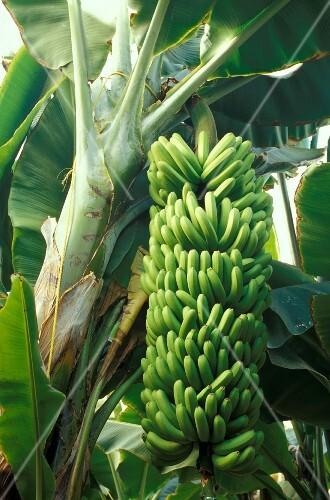 Banana plantation, Gran Canaria, Canary Islands, Spain