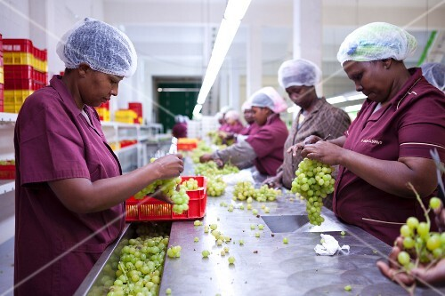 Workers preparing grapes for packaging