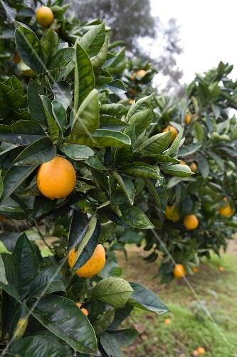 Orange trees in Sicily (close-up)