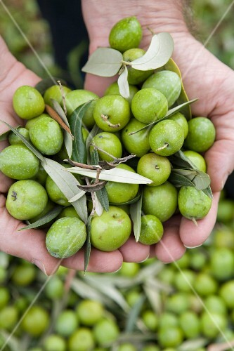 Hands holding freshly harvested green olives (Trapani, Sicily, Italy)