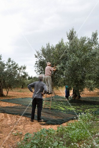 Olives being harvested in Trapani, Sicily, Italy