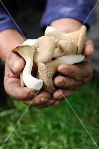 Hände halten frisch geerntete Kräuterseitlinge