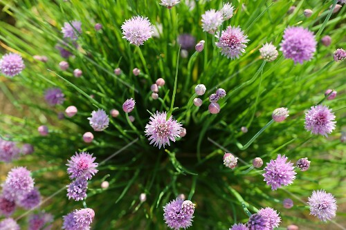 Flowering chives in a garden (seen from above)