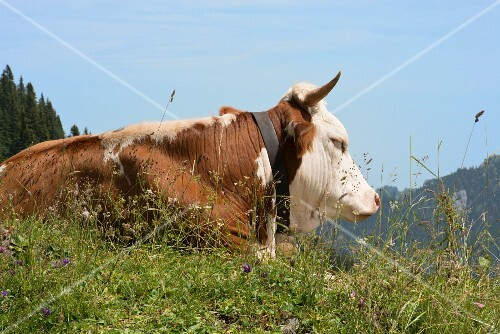 A dairy cow on an alp