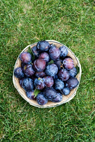 Fresh plums in a basket in a field