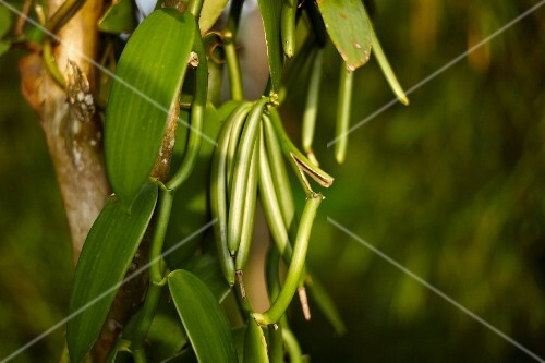 Green vanilla pods on a plant